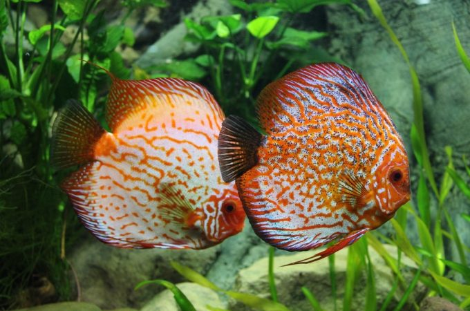 discus pair front view for aquaponics